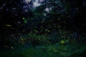 森に舞う蛍の光群