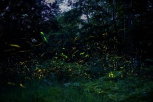 森の中に乱舞するほたるの光