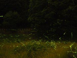ホタル 森 乱舞 光