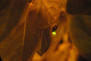 葉にとまって光るホタル