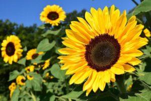 色鮮やかに咲くひまわり