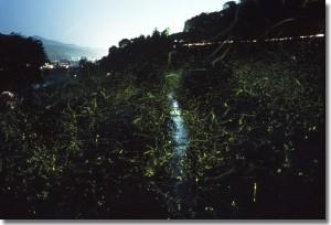 小川 草むら 蛍の光の軌跡
