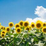 明野サンフラワーフェス2021の日程と見頃!開花や見どころは?混雑は?