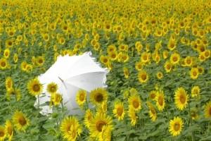 ひまわり畑と白い日傘