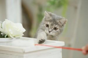 子猫 猫じゃらし