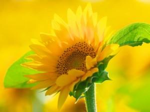 ひまわり 花