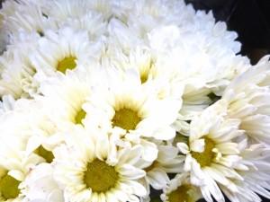 供花 白菊