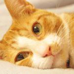 【猫の暑さ対策】エアコンなしは?ペットボトル・保冷剤手作り方法は?