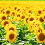 北竜町ひまわりまつり2017の見頃と開花状況。楽しみ方は?