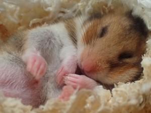 寝てるハムスター