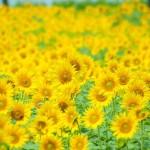 昭和記念公園ひまわり畑2017の見頃と開花状況。アクセス情報
