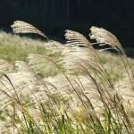 秋の七草の覚え方。意味や由来は?食べることはできる?