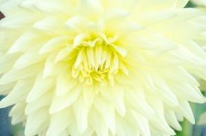 大きな白い菊の花