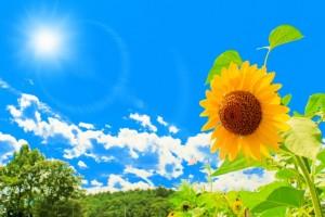 ひまわり 花 青空 太陽