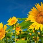 昭和記念公園ひまわり畑2020の見頃と開花!イベントや駐車場は?