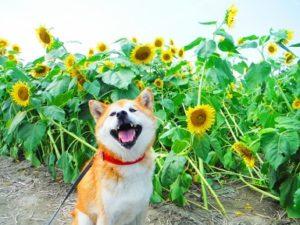ひまわり畑 犬