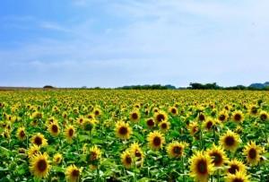 青空の下に広がる満開のひまわり畑