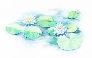 白い睡蓮の花 イラスト