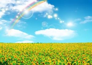 ひまわり畑 虹 青空 太陽