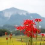 彼岸花(赤・白・黄色)の花言葉と由来。別名一覧。英語名は?
