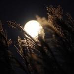 中秋の名月 すすき