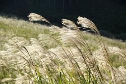 風に揺れるススキ 秋景色