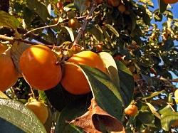 たくさん実っている柿