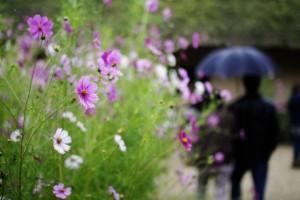 雨の日 コスモス