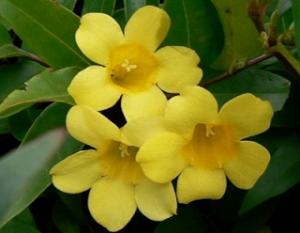 黄色のカロライナジャスミン