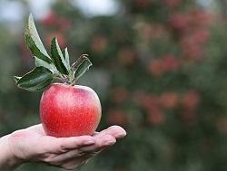 りんご ポリフェノール
