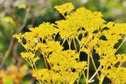 女郎花の黄色い花