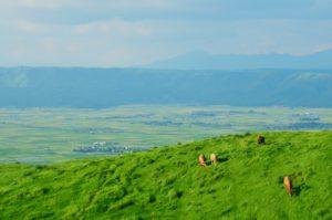 広大な放牧場 牛