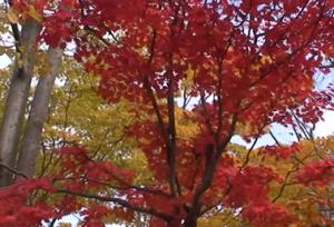 真っ赤な紅葉と黄葉