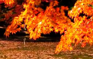 日に照らされて輝く紅葉 水面に浮かぶ紅葉
