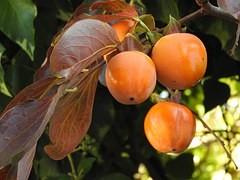 木に実っている柿