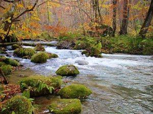奥入瀬渓流 紅葉 苔むした岩が点在する川