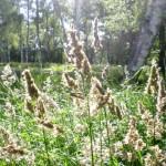 カモガヤ花粉症の症状と対策。時期や季節はいつ?食べ物は?