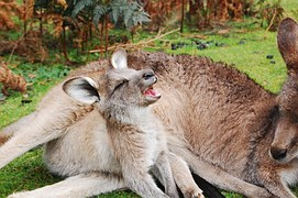 子鹿 あくび