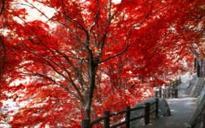 天鼓林 真っ赤に色付いた紅葉