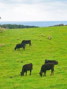 牛 牧草地