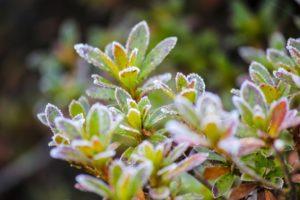 霜が降りた草木