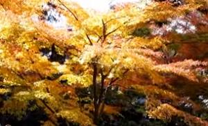 実光院 黄葉
