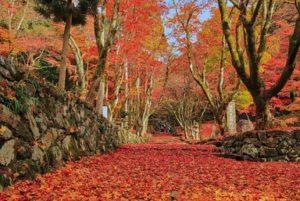 鶏足寺 見事な紅葉じゅうたん