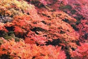 鮮やかな紅葉群 観音山