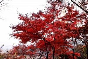 高尾山 真っ赤に色付いた紅葉