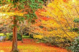 三千院 紅葉と黄葉 紅葉絨毯