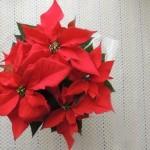 ポインセチアの花言葉。赤、ピンク、白。クリスマスフラワーの由来