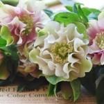 クリスマスローズの花言葉。意味と由来。種類や色の違いは?