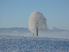 雪原と雪に覆われた巨木