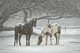 吹雪の中の馬2頭